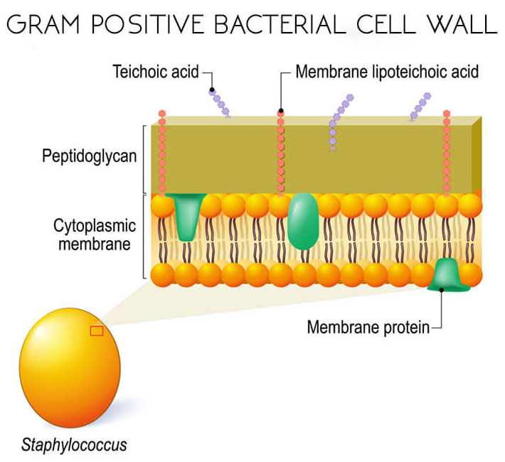 Cell-Wall-of-Gram-Positive-Bacteria