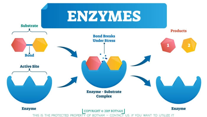 Enzymes-are-proteins
