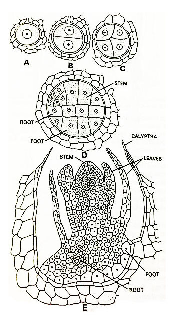 Equisetum-Successive-Stages-in-Development-of-Sporophyte