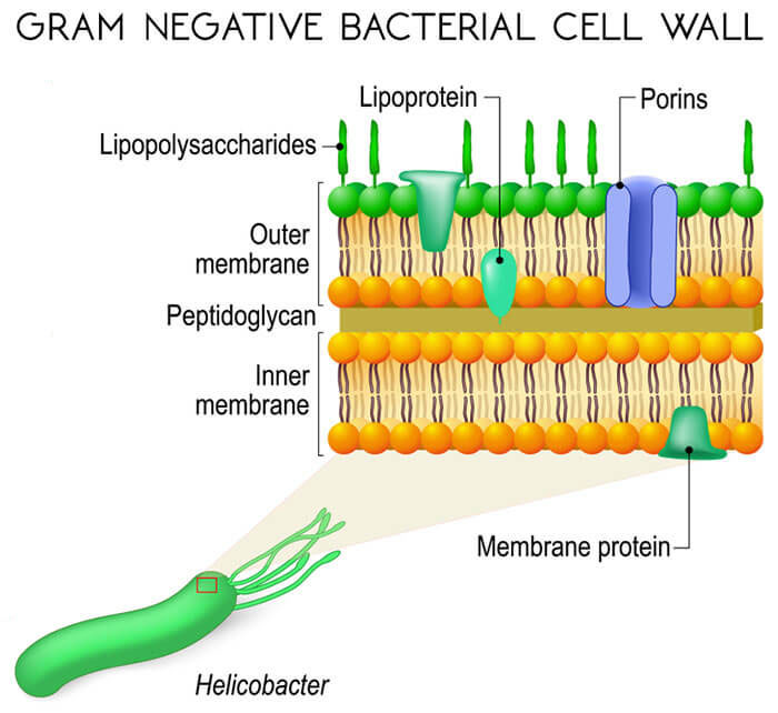 Gram-Negative-Bacteria-Cell-Wall