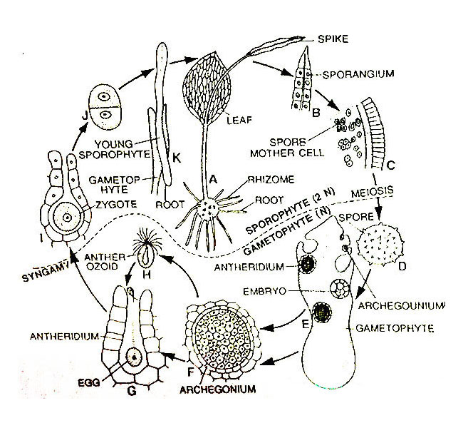 Ophioglossum-Diagrammatic-Life-Cycle