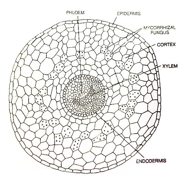 Ophioglossum-vulgatum-Transverse-Section-of-Petiole-Detailed
