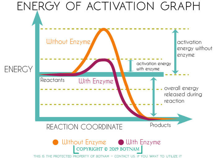 enzyme-action-energy-of-activation-graph