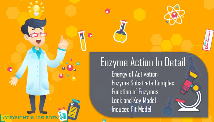 enzyme-action