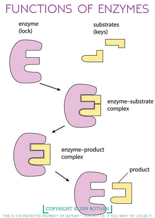 functions-of-enzymes