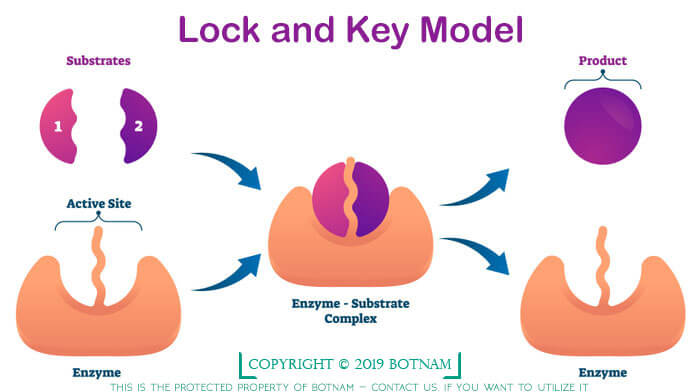 lock-and-key-model