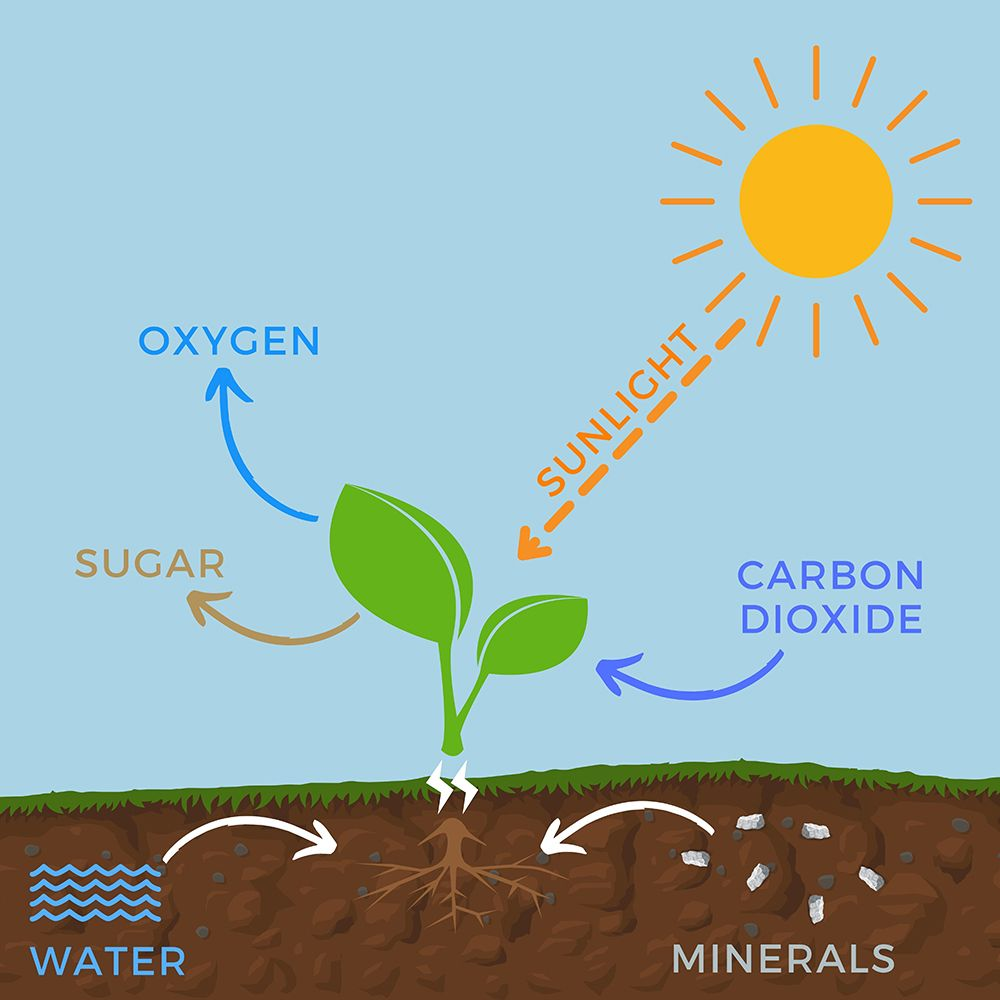 photosynthesis-definition-in-graphical-view