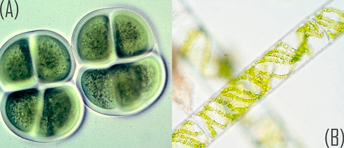 reproduction-in-algae-chroococcus-and-spirogyra