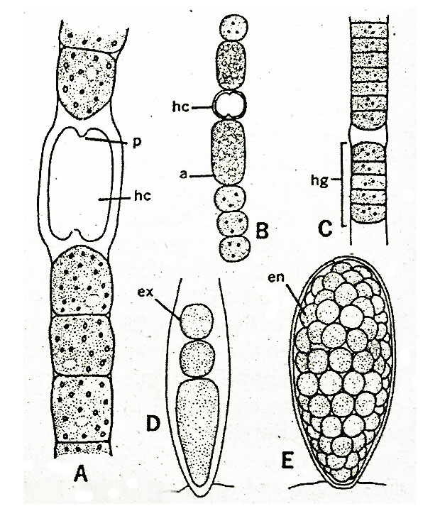 reproductive-structures-in-cyanophyta