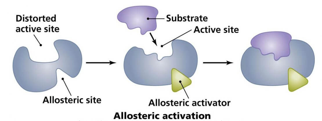 allosteric-enzymes