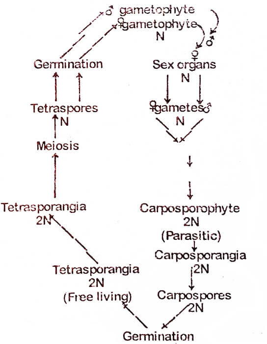 alternation-of-generations-life-cycle-triphasic-diplobiontic-life-cycle