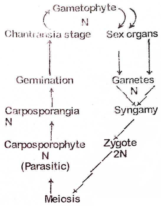 alternation-of-generations-life-cycle-triphasic-haplobiontic-life-cycle