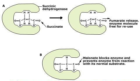 competitive-inhibition-of-enzymes