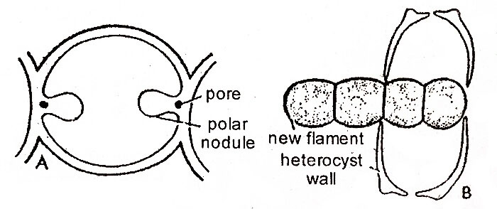heterocyst-and-germination-of-heterocyst